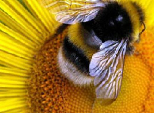 Аллергия на пчелу